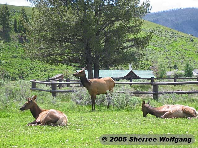 Elk in the Picnic Area
