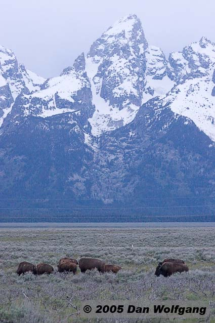 Buffalo in front of Grand Teton
